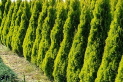 Harilik elupuu ´Golden Smaragth´ (Thuja occidentalis)