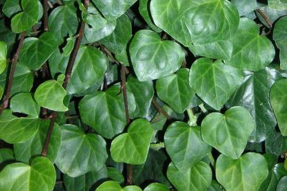 Kohlise luuderohi (Hedera colchica)