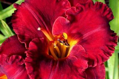 Aed-päevaliilia ´Li´Red Wagon´ (Hemerocallis)