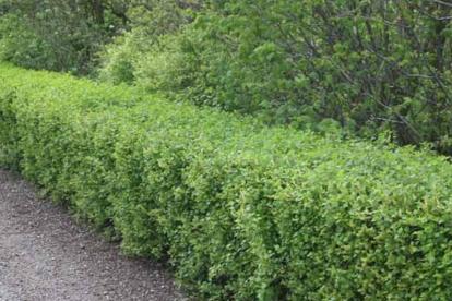 Magesõstar ´Hemus´ (Ribes alpinum)