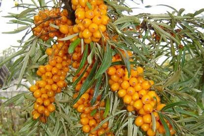 Astelpaju ´Botanitsekaja ljubiteskaja´ (Hippophae rhamnoides)