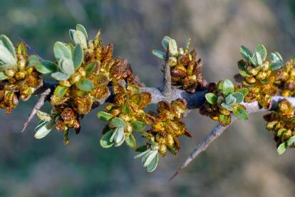 Astelpaju - isane (Hippophae rhamnoides)