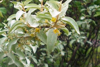 Läikiv hõbepuu (Elaeagnus commutata)