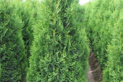 Harilik elupuu ´Holmstrup´ (Thuja occidentalis)