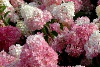 Aedhortensia ´Vanille Fraise´ (Hydrangea paniculata)
