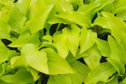 Hosta ´Hydon Sunset´ (Hosta)