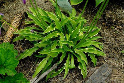 Hosta ´Tattle Tails´ (Hosta)