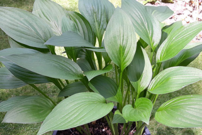 Hosta ´Weihenstephan´ (Hosta)