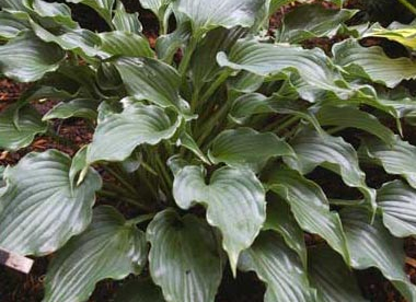 Hosta ´Restless Sea´ (Hosta)