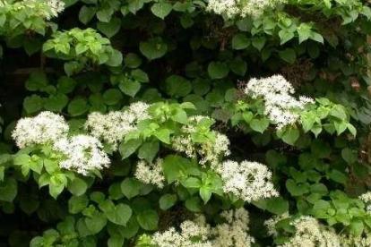 Roniv hortensia (Hydrangea anomala)
