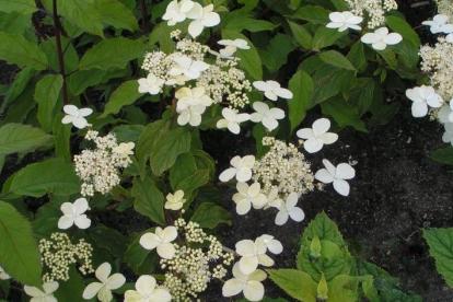 Himaalaja hortensia (Hydrangea heteromalla)