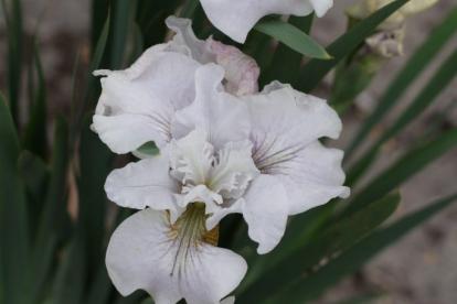 Siberi võhumõõk ´Not Quite White´ (Iris sibirica)