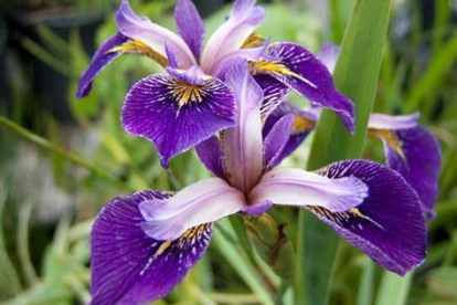 Iris * ´Appointer´ (Iris versicolor hübriid)