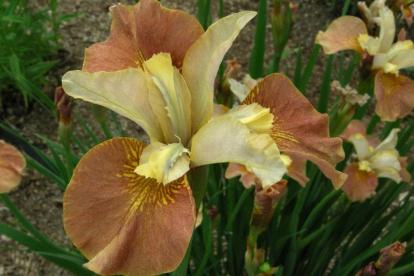 Siberi võhumõõk ´Drink your tea´ (Iris sibirica)