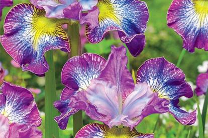 Siberi võhumõõk ´How Audacionś ´ (Iris sibirica)