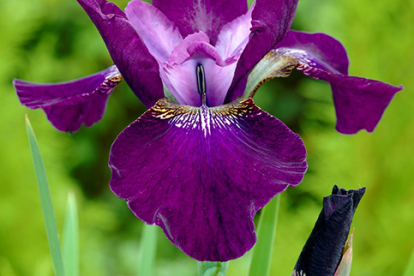 Siberi võhumõõk ´Hubbard´ (Iris sibirica)