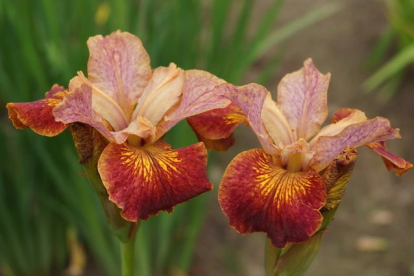 Siberi võhumõõk ´Pabrikash´ (Iris sibirica)