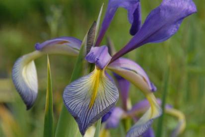 Soo-Iiris (Iris spuria)