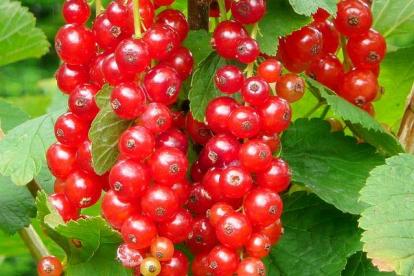 Punane sõstar ´Jonkheer van Tets´ (Ribes Rubrum)