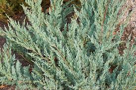 Sargenti kadakas (Juniperus sargentii)