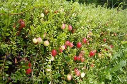Suureviljaline jõhvikas  'Kalnciema Tumšā' (Vaccinium macrocarpon)