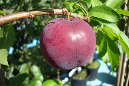 Kultuur alõtša ´Kubanskaja Kometa´ (Prunus)