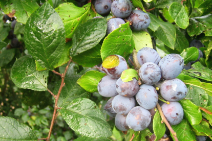Kreegipuu (Prunus insititia)