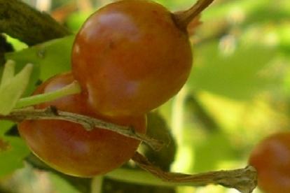 Kuldsõstar ´Salut´ (Ribes aureum)
