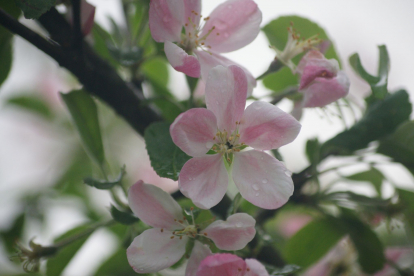 Iluõunapuu ´Okurimono´ (Malus sp.)