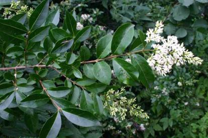 Harilik liguster (Ligustrum vulgare)