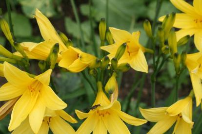 Kollane päevaliilia (Hemerocallis liloasphodelus)