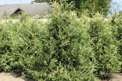 Harilik elupuu ´Litomysl´ (Thuja occidentalis)