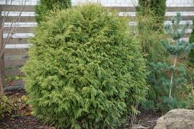 Harilik elupuu ´Little Champion´ (Thuja occidentalis)