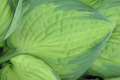 Hosta ´Lunar Orbit´ (Hosta)