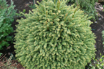 Harilik kuusk ´Luua Pärl´ (Picea abies)