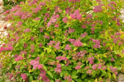 Jaapani enelas ´Magic Carpet´ (Spiraea japonica)