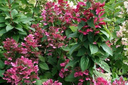 Aedhortensia ´Magical Fire´(Hydrangea paniculata)