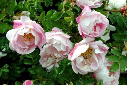 Näärmeline kibuvits ´Maria Stjuart´ (Rosa pimpinellifolia)
