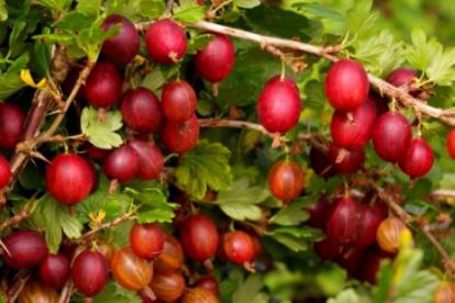 Karusmari ´Mašeka´ (Grossularia)