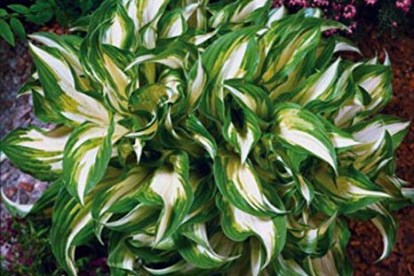 Hosta ´Mediovariegata´ (Hosta)