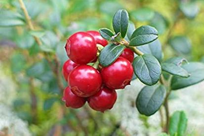 Pohl ´Minima´ (Vaccinum vitis-idaea)