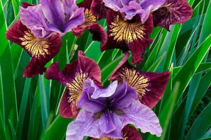 Siberi võhumõõk ´Miss Apple´ (Iris sibirica)