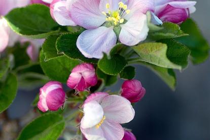 Viljapuude lõikus - väike puu - (Kevadel)