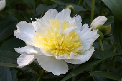 Pojeng ´Honey Gold´ (Peonia lactiflora)