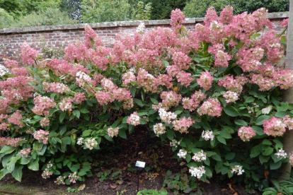 Aedhortensia ´Phantom´ (Hydrangea paniculata)