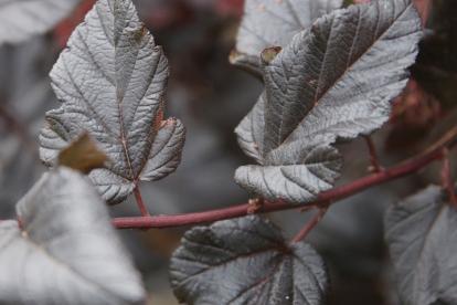 Põisenelas ´Meegaste´ (Physocarpus)