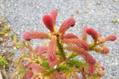 Harilik kuusk ´Rydal´ (Picea abises) - Tellimisel