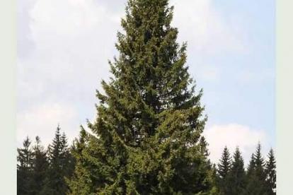 Harilik kuusk (Picea abies)