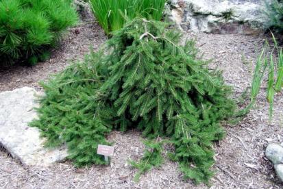 Harilik kuusk ´Formanek´ (Picea Abies)