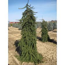 Harilik kuusk ´Pendula´ (Picea abies) - tellimisel